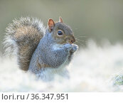 Grey squirrel (Sciurus carolinensis) in frosty garden, Wales, UK January. Стоковое фото, фотограф Andy Rouse / Nature Picture Library / Фотобанк Лори