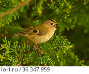 Goldcrest (Regulus regulus) singing in spring, UK, March. Стоковое фото, фотограф Andy Rouse / Nature Picture Library / Фотобанк Лори