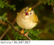 RF - Goldcrest (Regulus regulus) singing in spring UK. March. (This image may be licensed either as rights managed or royalty free.) Стоковое фото, фотограф Andy Rouse / Nature Picture Library / Фотобанк Лори