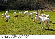 Damwild, (Dama dama), weiße Variation, im Gehege, Fallow deer, white... Стоковое фото, фотограф Zoonar.com/Jürgen Vogt / easy Fotostock / Фотобанк Лори