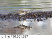 Tringa glareola. Фифи шагает по мелководью в поисках пищи среди воды кочек. Стоковое фото, фотограф Григорий Писоцкий / Фотобанк Лори
