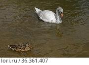 Young Mute swan (Cygnus olor) and wild duck (Anas platyrhynchos) Стоковое фото, фотограф Валерия Попова / Фотобанк Лори