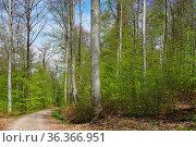 Lichter Buchenwald im Frühling, Light beech forest in spring. Стоковое фото, фотограф Zoonar.com/Jürgen Vogt / easy Fotostock / Фотобанк Лори