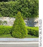 Самшит подстрижен в форме треугольника. Стоковое фото, фотограф Мария Кылосова / Фотобанк Лори