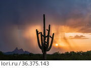 Solitary saguaro cactus (Carnegiea gigantea), Sonoran Desert, Arizona, USA. Piccacho Peak State Park visible in the distance, with heavy rains at sunset. Стоковое фото, фотограф Jack Dykinga / Nature Picture Library / Фотобанк Лори