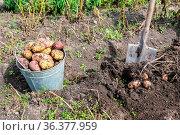 Freshly harvested organic potatoes in metal bucket at the vegetable... Стоковое фото, фотограф Zoonar.com/Alexander Blinov / easy Fotostock / Фотобанк Лори