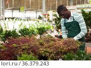 Florist cultivating potted ornamental houseplants. Стоковое фото, фотограф Яков Филимонов / Фотобанк Лори