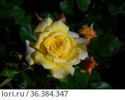 Yellow rose on a bush with unopened buds with morning dew in the garden. Стоковое фото, фотограф Сергей Фролов / Фотобанк Лори