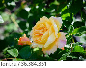 Yellow rose on a bush in the garden in the morning with dew drops. Стоковое фото, фотограф Сергей Фролов / Фотобанк Лори