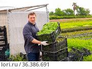 Successful horticulturist with freshly harvested mizuna. Стоковое фото, фотограф Яков Филимонов / Фотобанк Лори