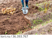 New potato harvesting on a potato field. Freshly dug organic potatoes... Стоковое фото, фотограф Zoonar.com/Alexander Blinov / easy Fotostock / Фотобанк Лори