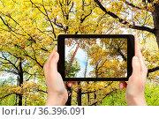 Travel concept - tourist photographs of pine, birch, oak trees in... Стоковое фото, фотограф Zoonar.com/Valery Voennyy / easy Fotostock / Фотобанк Лори
