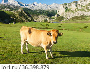 Asturian Mountain cattle cow sits on the lawn in a national park. Стоковое фото, фотограф Татьяна Яцевич / Фотобанк Лори