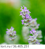 Lavender (Lavandula angustifolia), close up of the flower head. Стоковое фото, фотограф Zoonar.com/Alexander Ludwig / easy Fotostock / Фотобанк Лори