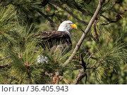 A bald eagle is perched in a tree in Coeur d'Alene, Idaho. Стоковое фото, фотограф Zoonar.com/Gregory Johnston / easy Fotostock / Фотобанк Лори