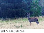Rotwild, die meiste Zeit des Jahres bildet diese Tierart nach Geschlechtern... Стоковое фото, фотограф Zoonar.com/Helge Schulz / easy Fotostock / Фотобанк Лори