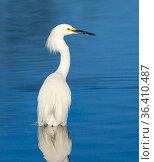 Snowy egret (Egretta thula) Gilbert Riparian Preserve, Arizona, USA, March. Стоковое фото, фотограф Jack Dykinga / Nature Picture Library / Фотобанк Лори