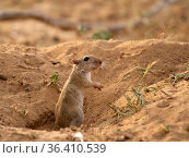 Indian desert jird (Meriones hurrianae), standing upright in burrow, Desert National Park, Rajasthan, India. Стоковое фото, фотограф Ashish & Shanthi Chandola / Nature Picture Library / Фотобанк Лори