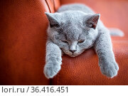 Young cute cat resting on leather sofa. The British Shorthair pedigreed... Стоковое фото, фотограф Zoonar.com/Michal Bednarek / easy Fotostock / Фотобанк Лори