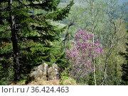 Цветущий маральник на горе Малая Синюха в районе озера Манжерок. Горный Алтай. Стоковое фото, фотограф Free Wind / Фотобанк Лори