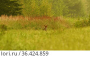 Puppy fox barks in the tall grass in the forest, summer day time. Стоковое видео, видеограф Dzmitry Astapkovich / Фотобанк Лори
