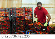Horticulturist arranging harvested tomatoes in crates in glasshouse warehouse. Стоковое фото, фотограф Яков Филимонов / Фотобанк Лори