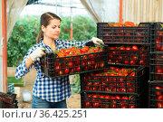 Woman gardener stacking boxes with tomatoes in greenhouse. Стоковое фото, фотограф Яков Филимонов / Фотобанк Лори