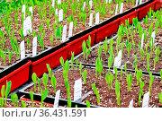 Young corn seedlings growing in garden trays. Стоковое фото, фотограф Zoonar.com/Amelia Martin / easy Fotostock / Фотобанк Лори
