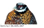 Waist Portrait of Reeve's Pheasant (Syrmaticus reevesii, male) is... Стоковое фото, фотограф Zoonar.com/Maximilian Buzun / easy Fotostock / Фотобанк Лори