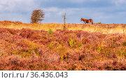 An Exmoor Pony, seen on Porlock Hill in Somerset, England, UK. Стоковое фото, фотограф Zoonar.com/Bernd Brueggemann / easy Fotostock / Фотобанк Лори