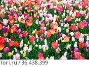 Beautiful blooming flowers in park. Netherlands. Стоковое фото, фотограф Zoonar.com/Yuri Dmitrienko / easy Fotostock / Фотобанк Лори