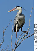Grey heron (Ardea cinerea) on branch, Camargue, France, Europe. Стоковое фото, фотограф Loic Poidevin / Nature Picture Library / Фотобанк Лори