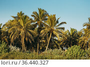 Goa, India. Coconut Trees Palms Among Other Greenery In Sunny Day. Стоковое фото, фотограф Ryhor Bruyeu / easy Fotostock / Фотобанк Лори