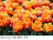 Orange and red tulips in the spring garden. Стоковое фото, фотограф Zoonar.com/Yuri Dmitrienko / easy Fotostock / Фотобанк Лори