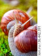 Helix pomatia also Roman snail, Burgundy snail, edible snail or escargot... Стоковое фото, фотограф Zoonar.com/Andrey Armyagov / easy Fotostock / Фотобанк Лори
