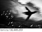 Black and white photo of a silhouette of a California sea lion (Zalophus californianus) making fish dive for cover. Los Islotes, La Paz, Baja California... Стоковое фото, фотограф Alex Mustard / Nature Picture Library / Фотобанк Лори