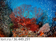 Red sea fan (Melithaea sp.) is surrounded by Glassfish ( Apogon sp.) on a coral reef. Daram Islands, Misool, Raja Ampat, West Papua, Indonesia. Ceram Sea. Tropical West Pacific Ocean. Стоковое фото, фотограф Alex Mustard / Nature Picture Library / Фотобанк Лори