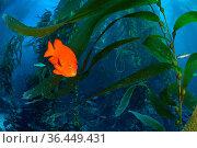Orange Garibaldi damselfish (Hypsypops rubicundus) in a giant kelp (Macrocystis pyrifera) forest. Santa Barbara Island, Channel Islands. Los Angeles, California... Стоковое фото, фотограф Alex Mustard / Nature Picture Library / Фотобанк Лори