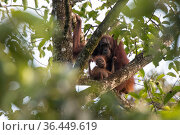 Orangutan (Pongo pygmaeus), female and her infant, rest in the canopy of the forest. Sabah, Malaysian Borneo. Стоковое фото, фотограф Ben Cranke / Nature Picture Library / Фотобанк Лори