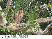 Southern pig-tailed macaque (Macaca nemestrina) male yawning, Sabah, Malaysian Borneo. Стоковое фото, фотограф Ben Cranke / Nature Picture Library / Фотобанк Лори