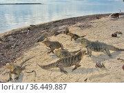 Cuban rock iguanas (Cyclura nubila) and Caribbean hermit crabs (Coenobita clypeatus) on the beach with a Desmarest's hutia (Capromys pilorides... Стоковое фото, фотограф Pascal Kobeh / Nature Picture Library / Фотобанк Лори