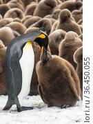 An adult King penguin (Aptenodytes patagonicus) feeding its chick in front of a creche of chicks. Fortuna Bay, South Georgia Island. Стоковое фото, фотограф Ben Cranke / Nature Picture Library / Фотобанк Лори