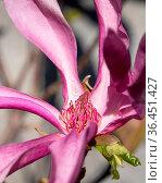 Tulip magnolia (Magnolia liliiflora), close up image of the flower... Стоковое фото, фотограф Zoonar.com/Alexander Ludwig / easy Fotostock / Фотобанк Лори