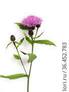 Flockenblume, Centaurea ist eine Wildblume die auf Wiesen waechst... Стоковое фото, фотограф Zoonar.com/Manfred Ruckszio / easy Fotostock / Фотобанк Лори