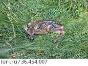 Rehkitz ,Capreolus capreolus, European roe deer. Стоковое фото, фотограф Zoonar.com/Bosch Marcus / easy Fotostock / Фотобанк Лори