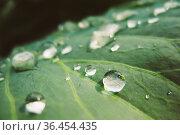 Fresh Water Drops On Green Plant Leaf. Greenery, Green: Pantone Color... Стоковое фото, фотограф Ryhor Bruyeu / easy Fotostock / Фотобанк Лори