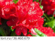 Red flowers of evergreen rhododendron in dew drops close-up. Стоковое фото, фотограф Олег Елагин / Фотобанк Лори