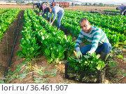 Latino farmer collect harvest chard in the garden. Стоковое фото, фотограф Яков Филимонов / Фотобанк Лори