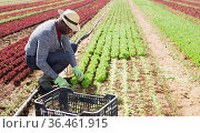 African American farmer harvesting lettuce. Стоковое фото, фотограф Яков Филимонов / Фотобанк Лори
