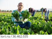 Joyful farm owner demonstrates chard harvest in field. Стоковое фото, фотограф Яков Филимонов / Фотобанк Лори